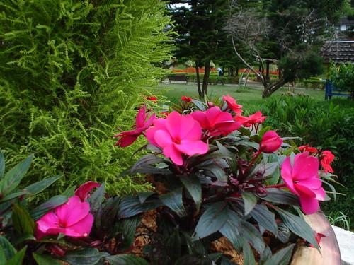 Cameron Highland Flowers 2