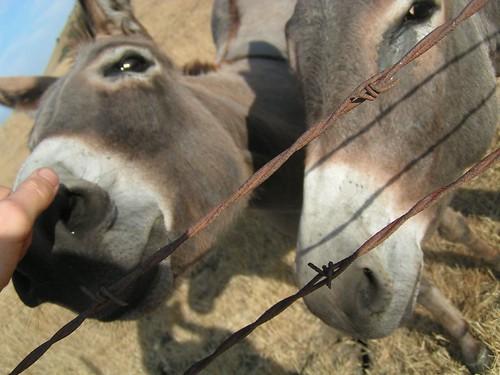 donkey noses
