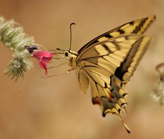 Lunch (ido1) Tags: red flower nature colors beautiful topv111 canon butterfly lunch israel model topv555 topv333 soft deleteme10 eat nectar balance feed fav delicate utataspotlight patience canoneos1dmk2 telhadid bestofisraelproject