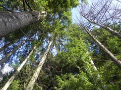 DSCN7505 (Gianluigi Roda / Photographer) Tags: lateautumn december trees firs