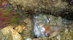 CIMG052900008125_edited (toninosiliquini) Tags: octopus areolatus mediteranian sicily italy