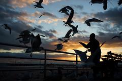 Feeding (dtanist) Tags: nyc newyork newyorkcity new york city sony a7 konica hexanon ar 40mm coney island boardwalk seagulls sea gulls bird birds gull beach sand feeding