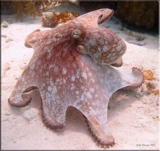 Octopus, Bonaire 2006