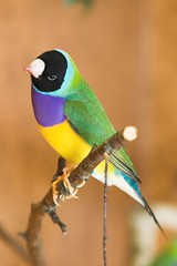 Goldi (PaulaPaul) Tags: bird birds animal animals tiere aves aviary vgel avian tier vogel voliere gouldianfinch gouldamadine