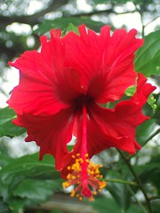 redflower (ScarletFaerie (K. Wood Photography)) Tags: red flower macro tag3 taggedout hawaii tag2 tag1 redflower tropicalflower