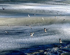 frozen sea (Aytena) Tags: sea birds mf frozensea