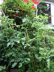 overgrown tomato