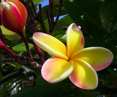 Plumeria and Bud (Pink Hibiscus) Tags: flowers flower hawaii nikon oahu plumeria explore tropical 3200 allrightsreserved tropicalflower copyrighted tropicalflowers plumi 510faves interestingness3 nikon3200 400v i500 explore28may06 exploretopten passionforplumeria