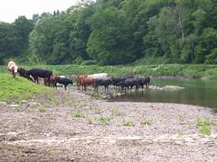 Dscn2567 (Bxl06) Tags: 2005 summer river germany ilovenature deutschland nikon europa europe cows sommer flus nrw ruhr biketour radtour kühe 25052005 bxl06 mado46