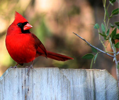 Happy February (Martha Catherine Ivey) Tags: bird birds ilovenature cardinal utatared