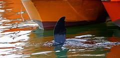 IMG_9941 Swimming sideways (Rodolfo Frino) Tags: sealion lobodemar water agua ocean oceano sea mar mardelplata argentina boats boat colorful bright fin naturaleza wow