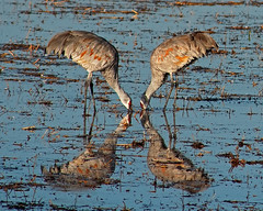 Near Sandhill Symmetry (Fort Photo) Tags: blue newmexico reflection bird nature water birds animal nikon bravo crane wildlife pair birding 2006 aves x cranes bosque ave nm waterfowl ornithology bosquedelapache avian sandhillcrane abw naturesfinest gruscanadensis gruiformes wildbird gruidae magicdonkey 50faves featheryfriday 300f4 birdphoto outstandingshots specnature specanimal animalkingdomelite abigfave bestnaturetnc06 bosquedelapachenationalwildliferefuge gruinae 50fav123