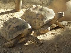 Turtle Ballet (trespassers william) Tags: old nature face animal pose neck zoo israel desert legs emotion turtle reptile tortoise oasis wise posture gaze eingedi streching