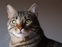 Gatto Mimmo maestoso (Gatto Mimmo) Tags: portrait cats cat chat tabby gato gatto ritratto tabbycat mimmo gattomimmo impressedbeauty