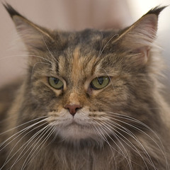 Main Coon with Attitude (peter_hasselbom) Tags: cats cat catshow maincoon holmbladsgade cc100 cc1000 cat1000