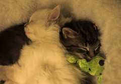 Brother and Sister (Mark Veitch) Tags: sleeping dog cats white black girl fur toy bed sister brother sleep young kittens felines bot abigfave
