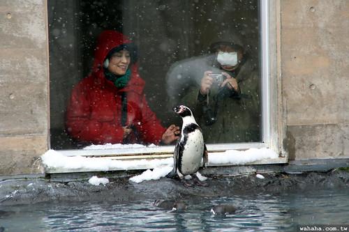 旭山動物園.企鵝