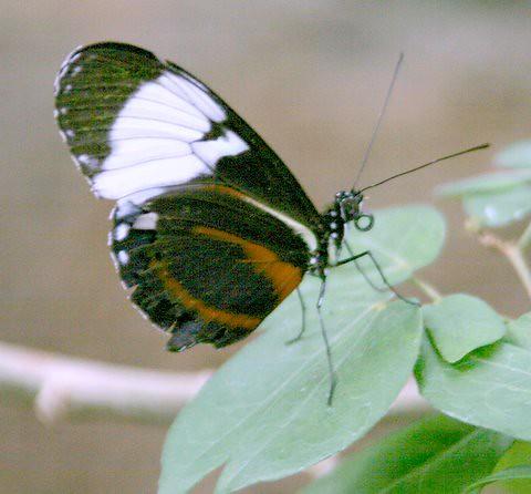 Butterfly, IMG_O898.JPG