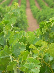 Barossa Valley Vineyards (Mowling) Tags: green leaves lines leaf vineyard wine south australia rows valley grapes growing barossa grapevine aisles mowling shannonmowling