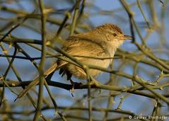 Rufous-fronted Prinia (Prinia buchanani) (Gaurav Bhatnagar) Tags: india bird nikond50 jaipur gaurav bhatnagar nikkor300mmf4 rufousfrontedprinia priniabuchanani