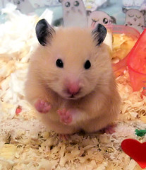 Who's that bear? (pyza*) Tags: pet pets cute animals hamster mammals rodents hamsters