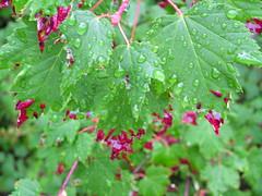 Diseased Maple leaf, Beverly Creek Teanaway (brewbooks) Tags: tree washington hiking acer plantae teanaway magnoliophyta magnoliopsida ironpeak sapindaceae bdgroup sapindales douglasmaple acerglabrumdouglasii