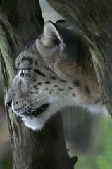 Snow leopard (dbillian) Tags: cats animal animals cat zoo feline leopard bigcat felines damon bigcats snowleopard zoos leopards snowleopards damonbillian billian supremeanimalphoto