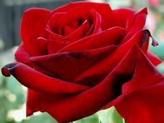 Ingrid_Bergman (mischy_eva) Tags: flowers nature wow sweden natur sverige blommor soe high5 vrmland mywinners flickrgold shieldofexcellence mischyeva impressedbeauty ultimateshot simplyelegance