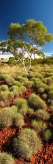 Panorama Gumtree (Steffen und Christina) Tags: blue red panorama white tree nature vertical nationalpark europa europe natur australia bluesky panoramic eucalypt wa australien gumtree blauerhimmel karijini pilbara vertikal panoramicphoto ghostgum dalesgorge westernautralia westaustralien pilbararegion speargras