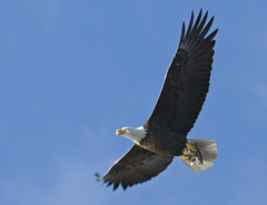 Glory - Bald Eagle @ Mason Neck, VA (Nikographer [Jon]) Tags: fish bird eye birds animal animals geotagged virginia lenstagged inflight nikon bravo eagle jan baldeagle january bald raptor d200 nikkor haliaeetusleucocephalus birdofprey masonneck 2007 haliaeetus leucocephalus 80400mmf4556dvr nikond200 nikographer masonneckstatepark specanimal animalkingdomelite abigfave 20060106d20052975 nikographerjon