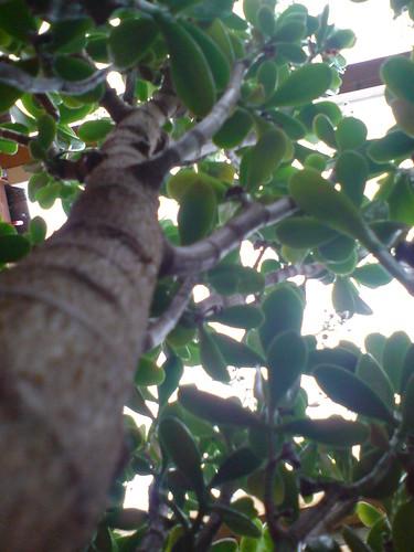 money plant tree. Crassula ovata - Money Tree