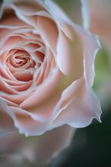 (rosemary*) Tags: pink topf25 rose 500v20f 2007