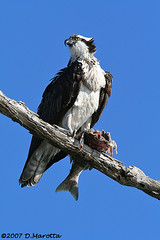 Osprey; Pandion haliaetus (MissionPhotography) Tags: california fruits orangecounty osprey pandionhaliaetus blend bolsachica acai monavie featheryfriday anawesomeshot
