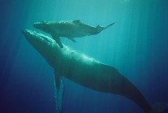 Memories / parent and child whale (ichie) Tags: ocean blue sea animal underwater vivid whale tahiti  seasea naturesfinest p1f1 colorphotoaward raziks20