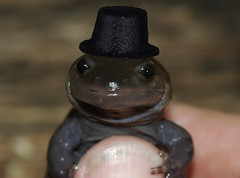 Intellectual Spotted Salamander (The Horned Jack Lizard) Tags: hat amphibian salamander tophat spotted spottedsalamander ambystoma ambystomamaculatum
