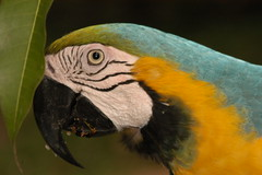 Amazon Parrot (Dave Schreier) Tags: bird peru amazon rainforest colorful parrot abigfave flickrgold impressedbeauty animalkindongelite
