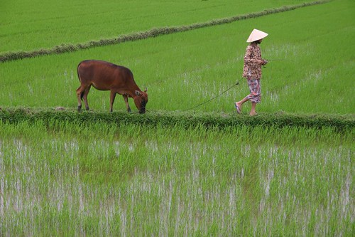 Vietnamese farmer in the rice fields...