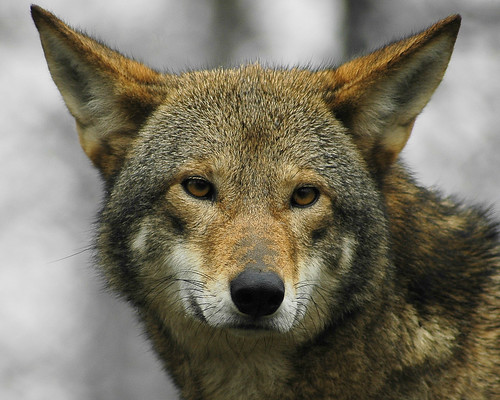 Red wolf | Flickr - Photo Sharing!