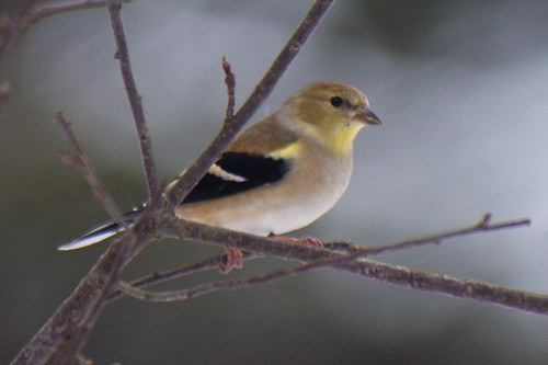 Am Goldfinch