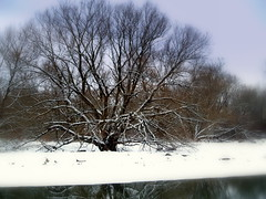 Winter Willow on the Mohawk River