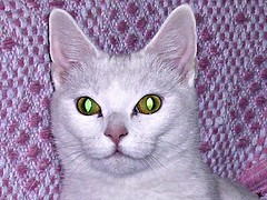 Great-ful 'green-eye' purr-fection.....(EXPLORE#430) (davidezartz) Tags: portrait pet white cute green beautiful cat happy yahoo interestingness eyes nikon friend feline quiet little good great adorable fast ears special sally whiskers explore greeneye friendly purr grateful intuitive paws slinky elegant playful sleek sophisticated clever champ 430 yippee lovable sprinter takeabow obedient whitelightning e3100 quadruped notmycat nikone3100 i500 nikonstunninggallery mywinners abigfave explore430 purrfection bestofcats kittyschoice diamondclassphotographer flickrdiamond naturephotoshp happypets theunforgettablepictures excapture theperfectphotographer goldstaraward rubyphotographer catmoments