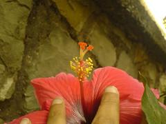 Shoeflower (dinesh_valke) Tags: flora evergreen hibiscus hibisco malvaceae hibiscusrosasinensis shrub rosemallow cayena gumamela ibisco chuchin bungaraya shoeflower chinarose tropicalhibiscus hawaiianflower chinesehibiscus roseofchina rosadechina hawaiianhibiscus mallowfamily fusang rosedechine sembaruthi chineseroos gurhal chemparati jaswand dosniphool  jubakusumathonba    queenofthetropics hibiscuschinensis blackingplant bussoge chihchin chinesischerroseneibisch cingulu claveljapons feuilleschoublak hibiskukset jihchi khatmahsiniyah rosadellacina rusang schoensmeerplant sehempariti shoeblackplant worowari