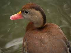 Pijije ala blanca (Dendrocygna autumnalis) (* Hi Tech Bio *) Tags: mxico shots ducks ala patos outstanding dendrocygna nuevolen autumnalis outstandingshots pijije