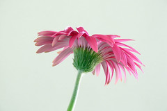 Green is for Pink (JosephRPalmer Photography) Tags: pink flower macro gerbera daisy