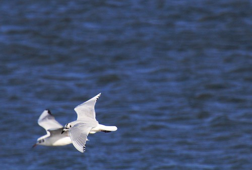 Saunder's Gull flight with BHG - Mie Pref