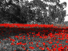 Anemone field v.2 (Shemer) Tags: trees red bw field anemone selectivecolour כלנית