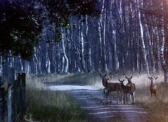 Herten in Kroondomein/ Red deer in the Royal Forest (tijmenkroes) Tags: ilovenature veluwe hoogsoeren herten kroondomein goldenmix top10nature wowiekazowie wonderfulworldmix