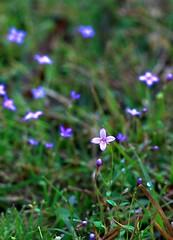 Little Blue's (Mr. Greenjeans) Tags: blue macro green nature catchycolors ilovenature weed raw wildflower mrgreenjeans gaylon yardwalk canonef100mmf28macrousm gaylonkeeling
