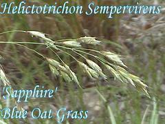 Helictotrichon Sempervirens