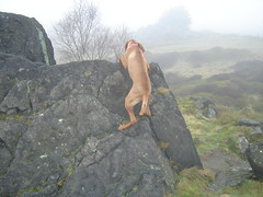 We Vizsla's were bred for climbing you know (Woody Worth) Tags: family dog playing cute dogs animal puppy happy puppies woody vizsla hills explore 100views 400views 300views demi warren worth doggy 500views kev 600views 700views hungarian viszla whitwick